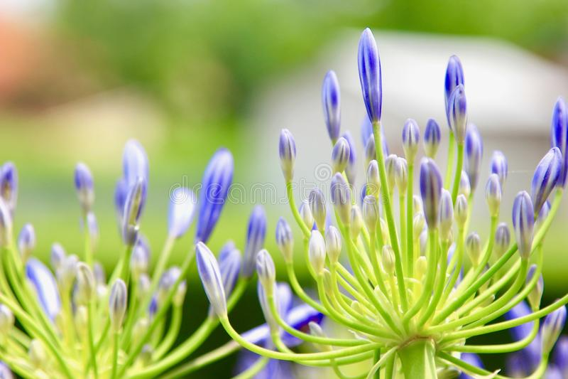 Błękitny kwiat w mój ogródzie obraz royalty free