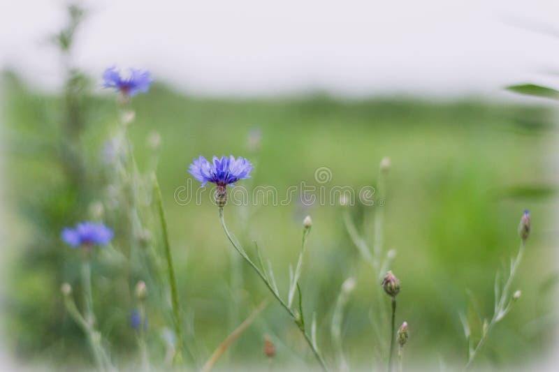 Błękitny kwiatu dorośnięcie na łące - cornflowers Wielka tło plama, mała głębia pole zdjęcie royalty free
