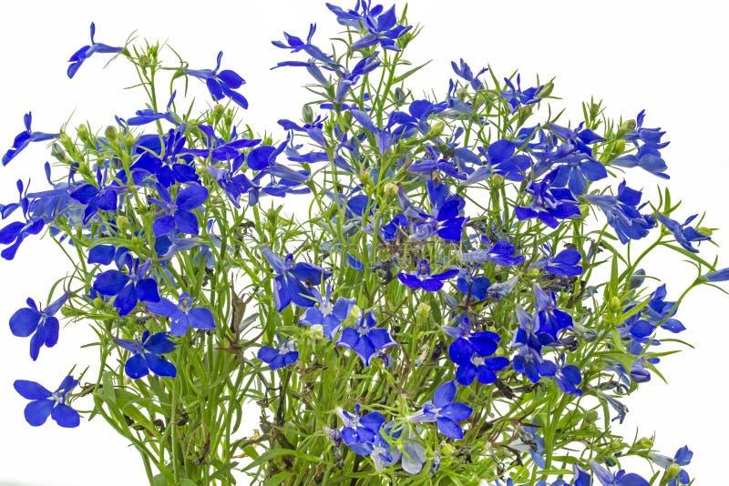 Błękitny lobelia (Lobelii erinus) zdjęcie stock