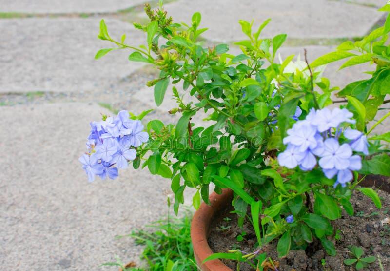 Błękitny Milion fiołka Dolarowy kwiat obrazy royalty free