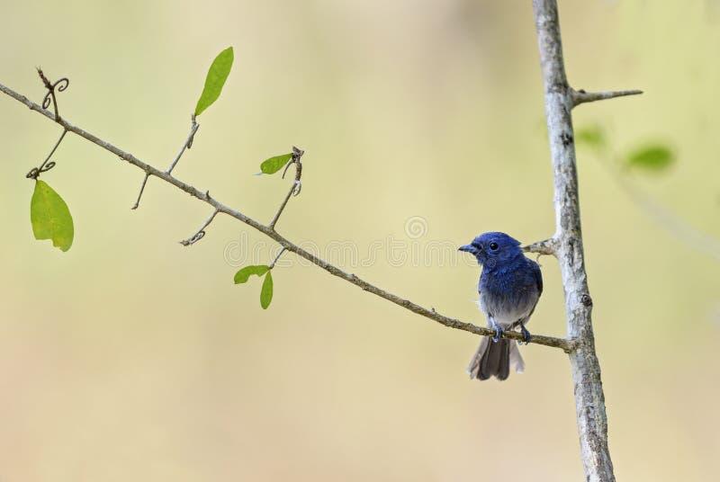 Błękitny monarcha - Hypothymis azurea zdjęcia stock