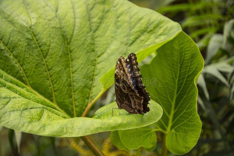 Błękitny morpho motyl lub cesarz, morpho peleides odpoczywa na kwiacie z jego pięknymi dużymi skrzydłami zdjęcia stock