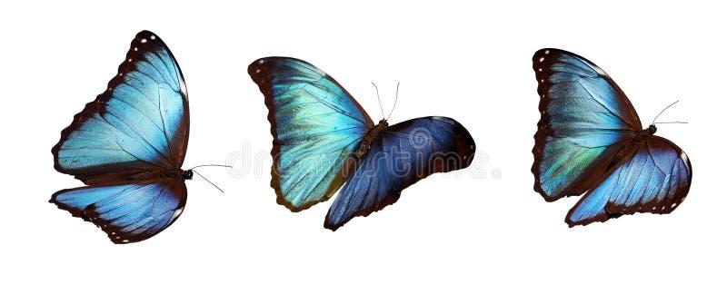 błękitny morphos trzy zdjęcie royalty free