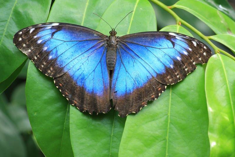 błękitny motyl zdjęcie royalty free