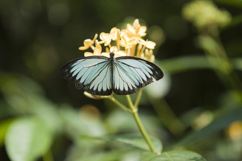 Błękitny motyl na żółtym kwiacie obrazy stock