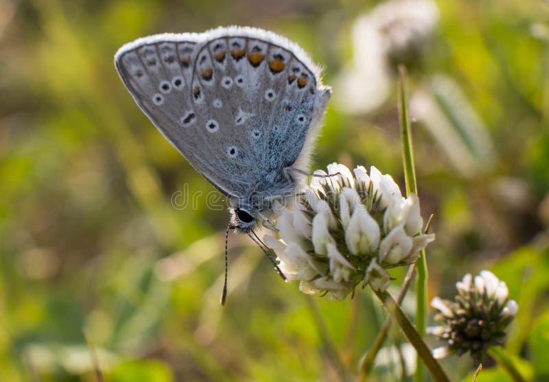 Błękitny motyl zbiera nektar obrazy royalty free