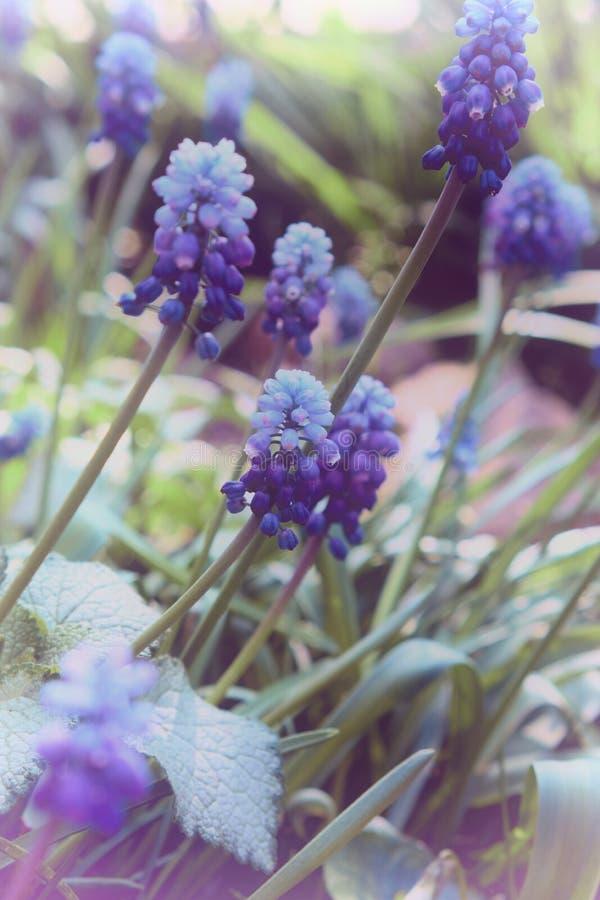błękitny muscari kwiat lub mysz hiacynt, zakończenie w górę obrazy royalty free