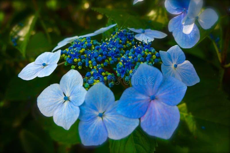 błękitny nakrętki hortensi koronka zdjęcia royalty free