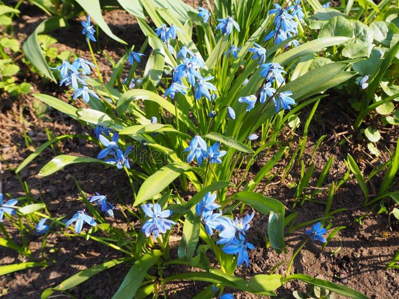 Błękitny niezapominajkowy myosotis kwitnie w ogródzie zdjęcie stock