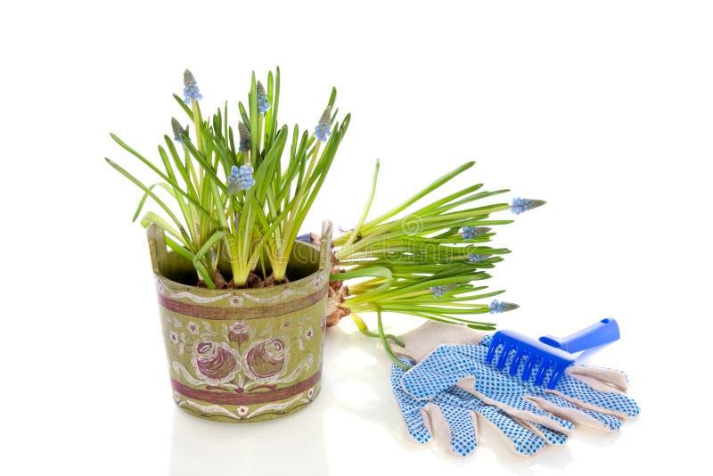 błękitny ogrodnictwa winogrona hyacints obraz stock