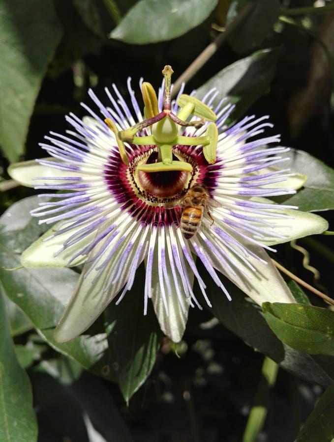 Błękitny passionflower, Passiflora caerulea z pszczoły zapylać, obrazy royalty free