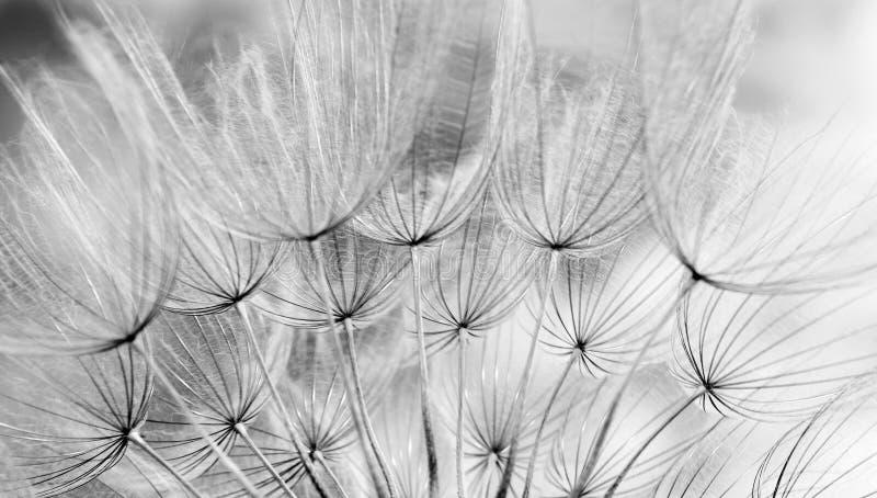 Błękitny pastelowy tło Błękitny abstrakcjonistyczny dandelion kwiatu tekstury tło miękkie ogniska, zdjęcie stock