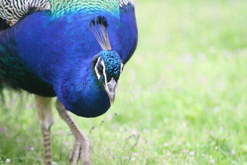 Błękitny pawi odprowadzenie w trawie obrazy royalty free