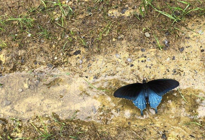 Błękitny Pipevine Swallowtail motyli borowinowy puddling obrazy stock
