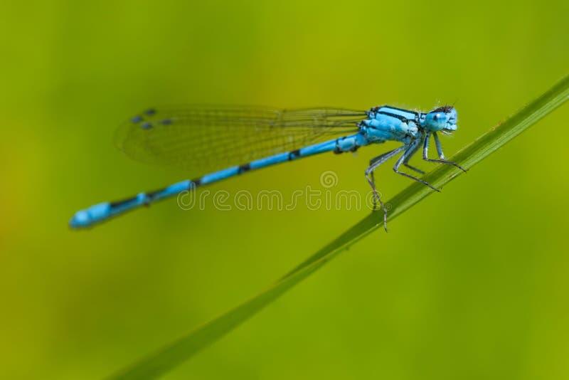 błękitny pospolity cyathigerum damselfly enallagma fotografia stock
