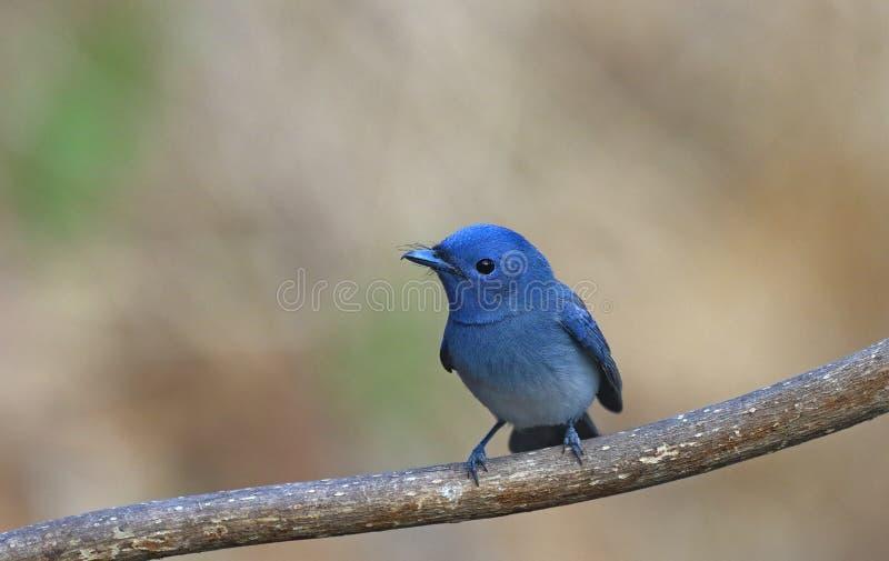 Błękitny ptak dzwonił Czarny naped monarchicznego obsiadanie na żerdzi obrazy royalty free
