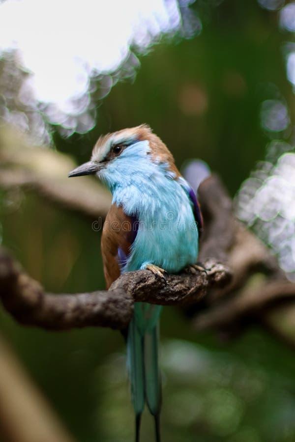 Błękitny ptasi patrzeć beside fotografia royalty free