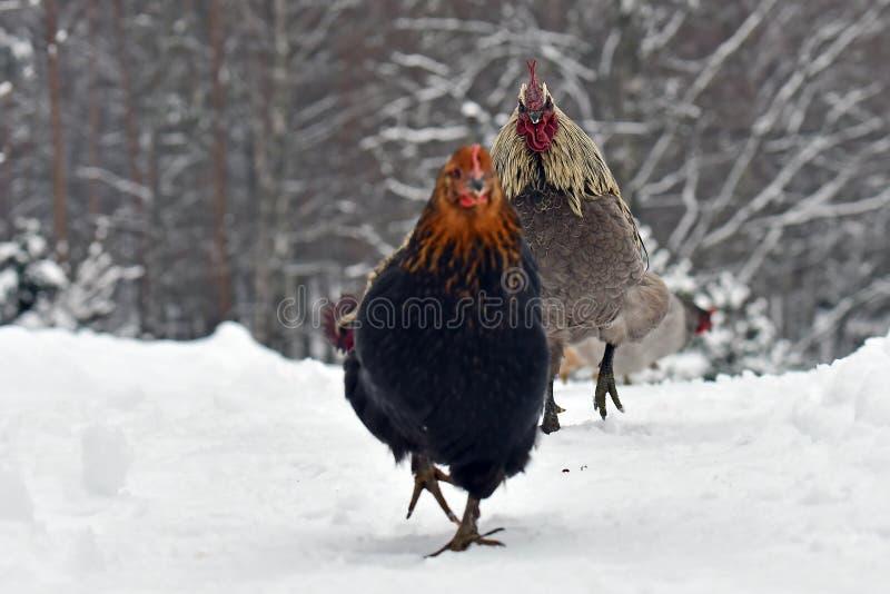 Błękitny rozczesany kogut goni karmazynki stary odporny traken Hedemora od Szwecja na śniegu w mroźnym krajobrazie zdjęcia royalty free