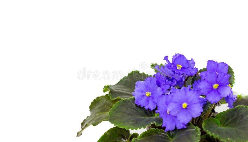 Błękitny Saintpaulia na białym tła błękicie kwitnie obrazy stock