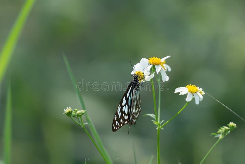 Błękitny szklisty tygrysi motyl na białym kwiacie w polu fotografia stock
