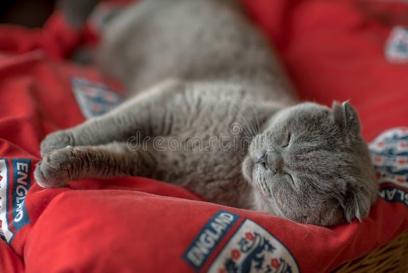 Błękitny szkocki fałdu kot kłaść na czerwonym chodniku fotografia stock
