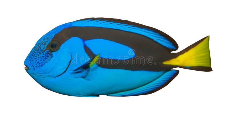 błękitny tła hepatus odizolowywał paracanthurus królewskiego blaszecznicy biel (Paracanthurus Hepatus) fotografia royalty free