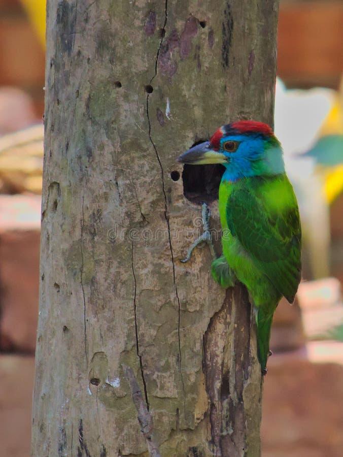 Błękitny throated barbet Assam fotografia stock