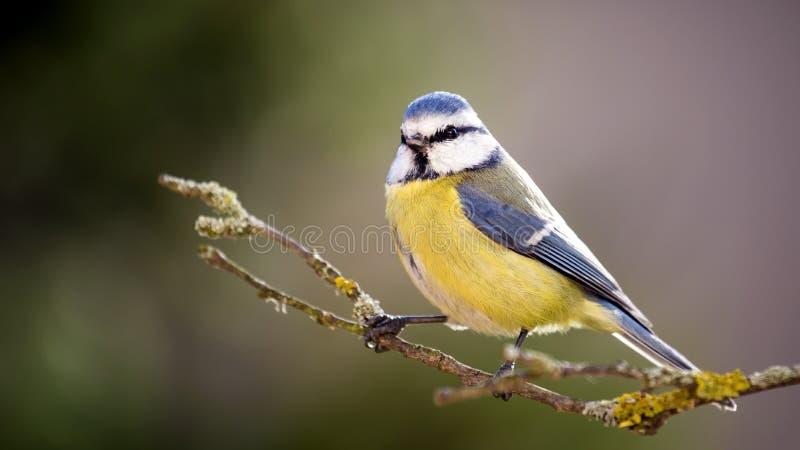 Błękitny tit w jesień lesie obrazy royalty free
