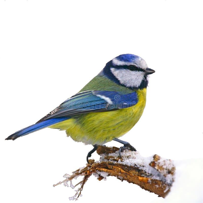 błękitny tit zima ilustracji