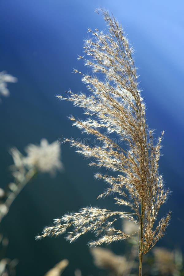 błękitny trzcina kwitnie rzecznego niebo obrazy royalty free