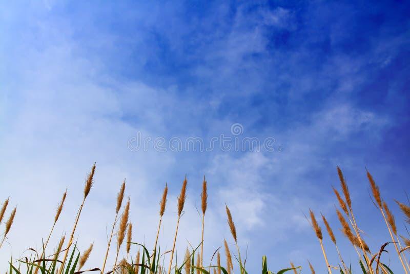 błękitny trzciny nieba cukier fotografia royalty free