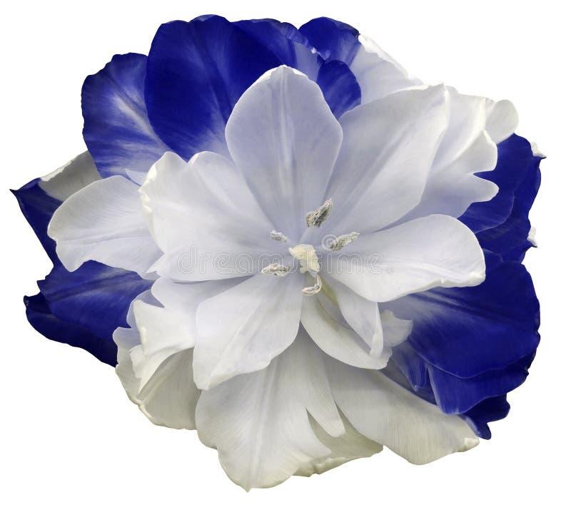 Błękitny tulipanowy kwiat na białym odosobnionym tle z ścinek ścieżką Żadny cienie zbliżenie fotografia stock