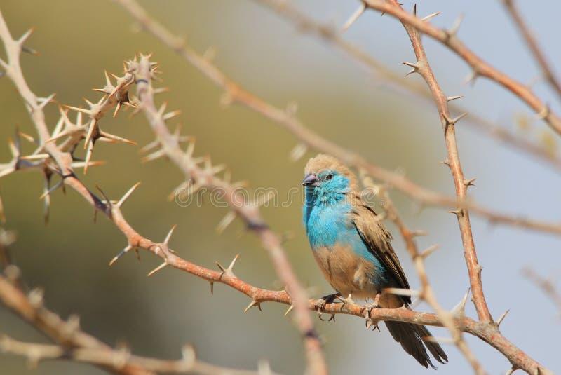 Błękitny Waxbill - Dziki Ptasi tła piękno od Afryka fotografia royalty free