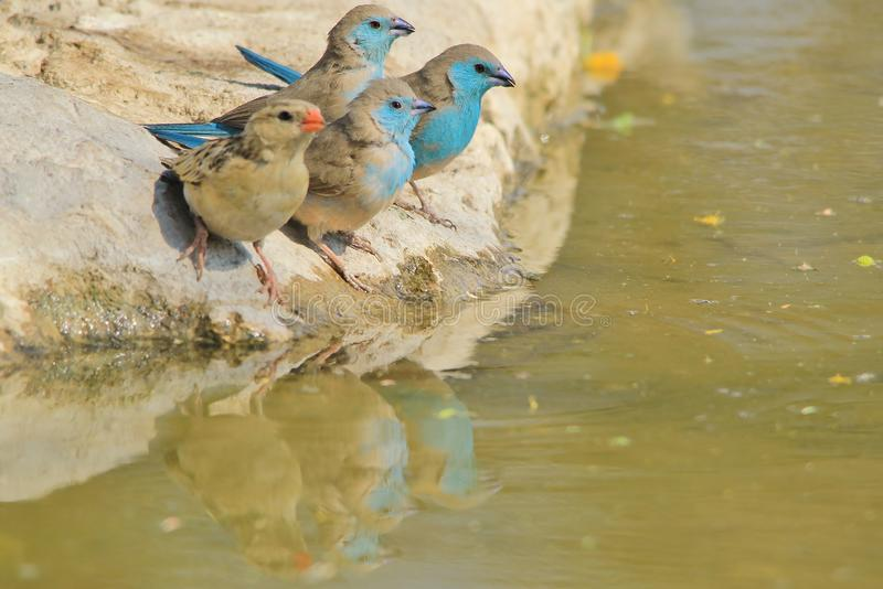 Błękitny Waxbill tercetu odbicie kolor - Dziki Ptasi tło od Afryka - zdjęcia royalty free