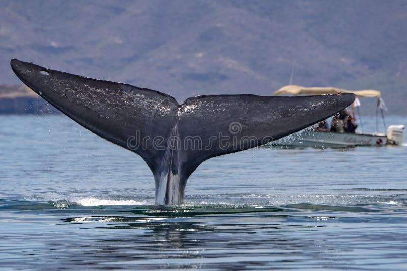 Błękitny wieloryb duży zwierzę w światowym ogonu szczególe zdjęcie stock