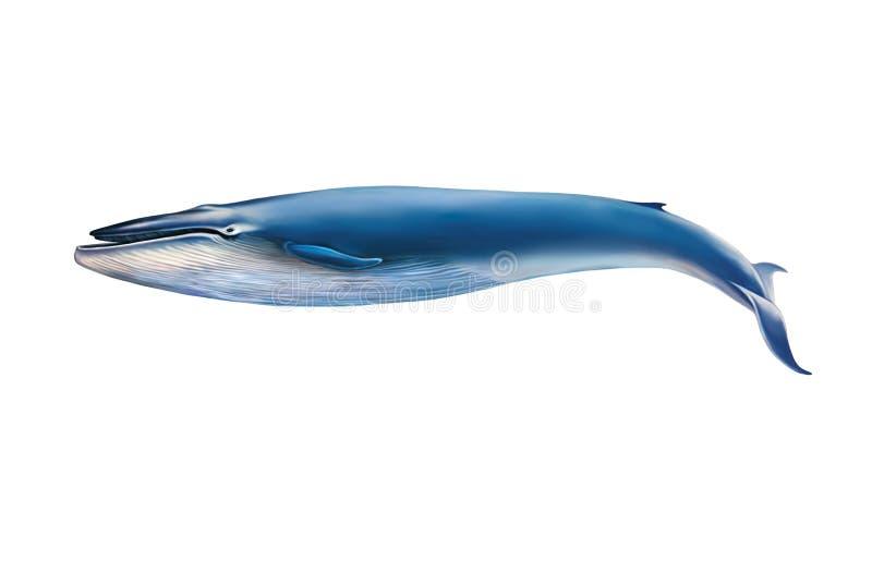 Błękitny wieloryb odizolowywający na białym tle ilustracji