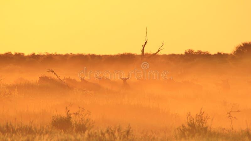 Błękitny Wildebeest łuna Złoty pył i półmrok - przyrody tło - fotografia stock