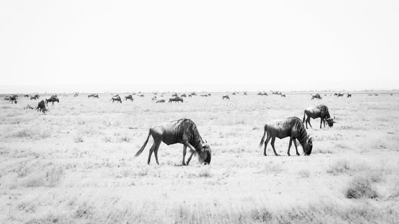Błękitny Wildebeest lub Brindled gnu Connochaetes taurinus w migraci na Serengeti obrazy royalty free
