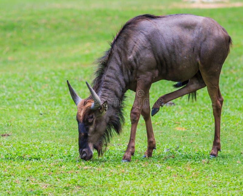 Błękitny Wildebeest - Maasai Mara Afryka obrazy royalty free