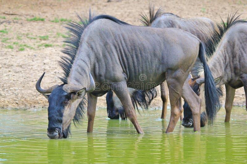 Błękitny Wildebeest postura ocalały - Afrykański przyrody tło - fotografia stock