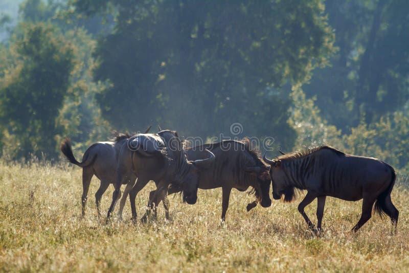 Błękitny wildebeest w Kruger parku narodowym, Południowa Afryka zdjęcie stock
