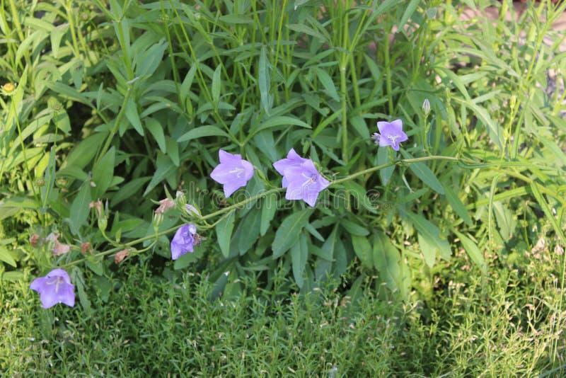 Błękitny wildflower w ogródzie zdjęcia stock
