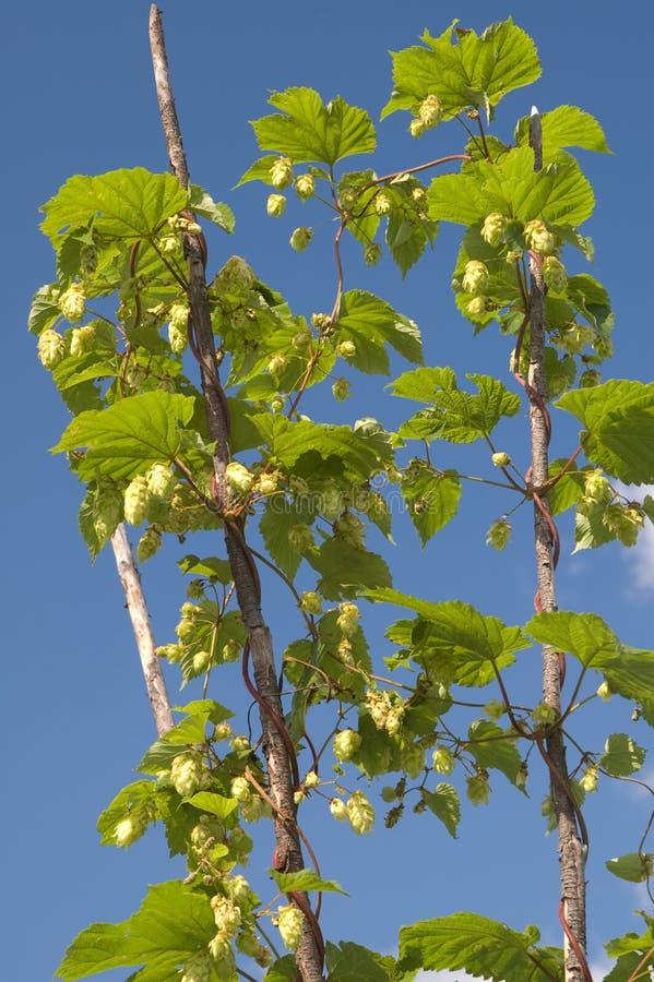 błękitny zieleni chmielu niebo zdjęcia stock