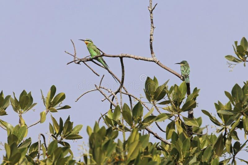 Błękitny zjadacza Merops persicus na gałąź zdjęcie stock