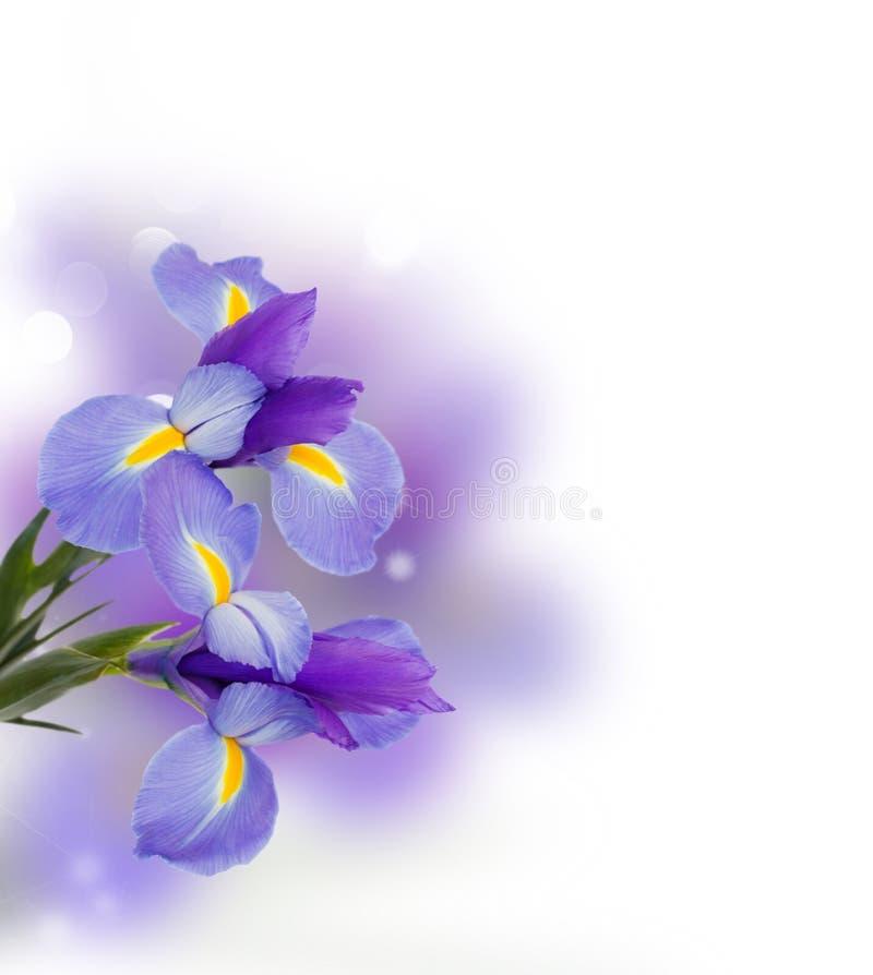 Błękitnych irise kwiatów zamknięty up obraz royalty free