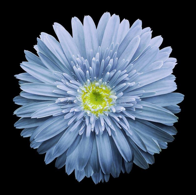 Bławy gerbera kwiat na czarnym odosobnionym tle z ścinek ścieżką zbliżenie Żadny cienie Dla projekta obrazy stock