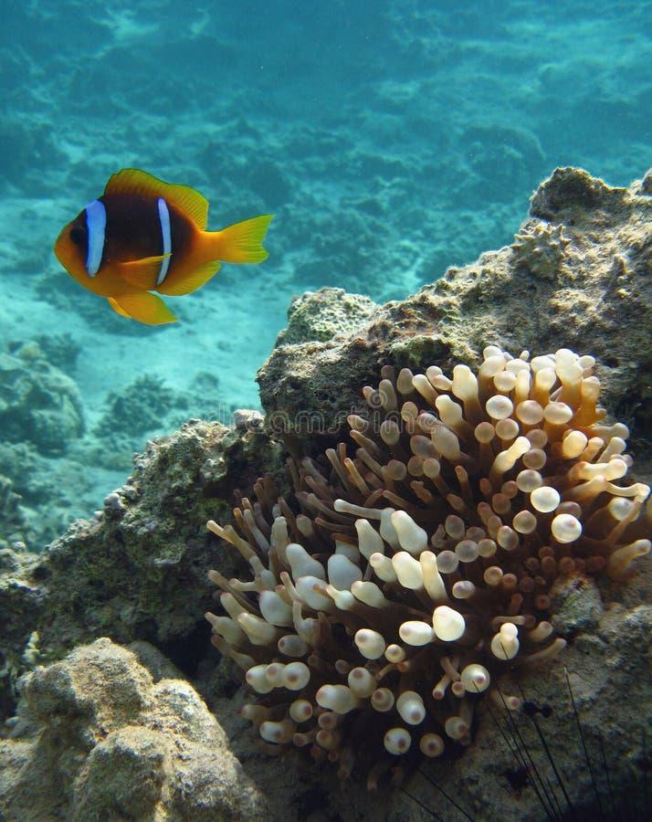 błazen anemonowa ryba zdjęcie royalty free