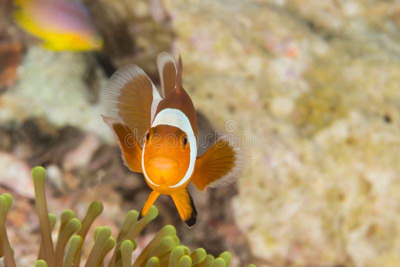 Błazen Anemonowa ryba zdjęcia royalty free