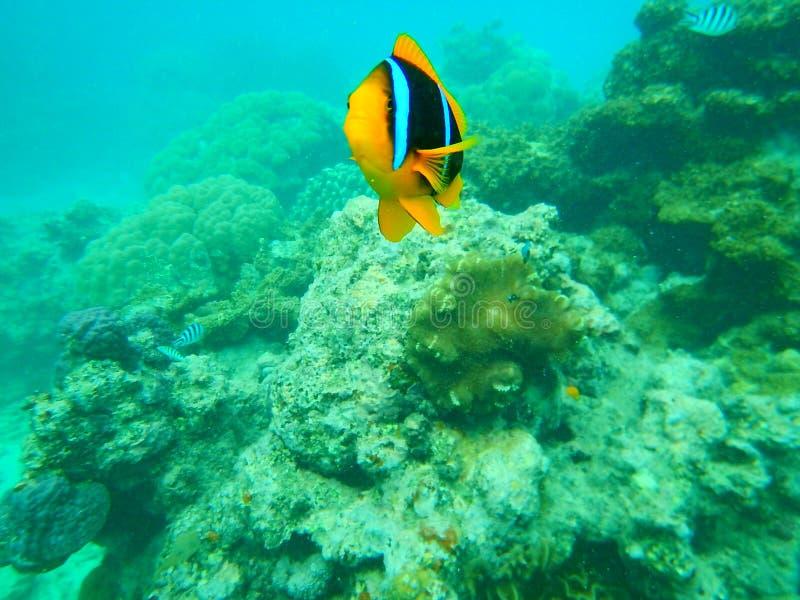 Błazen ryba ataka Fiji rafa koralowa obraz royalty free