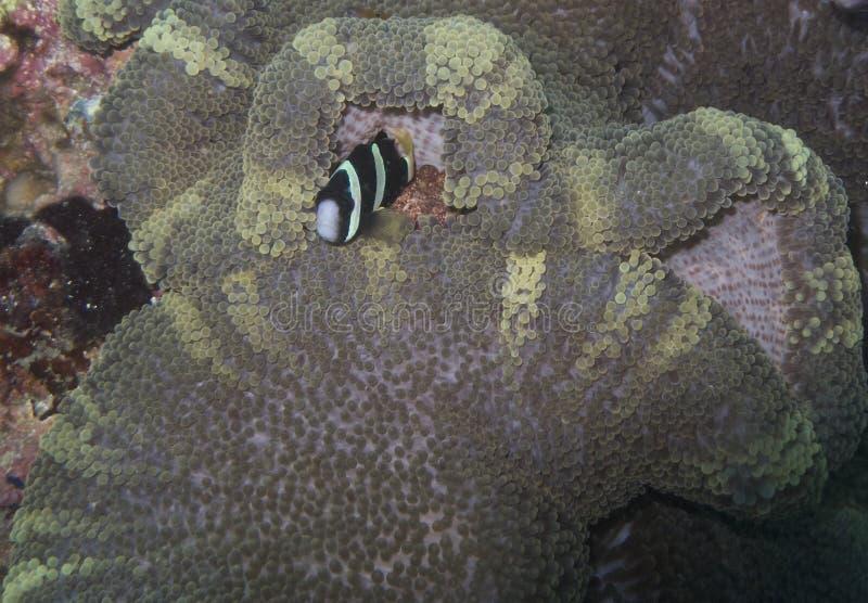 Błazen ryba w Rzadkim anemonie, Balicasag wyspa, Bohol, Filipiny zdjęcie stock